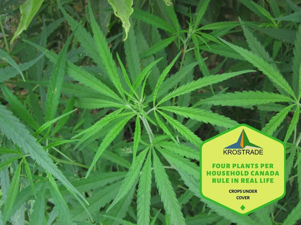 How Many Plants Can a Medical Patient Grow in Canada with an ACMPR license?