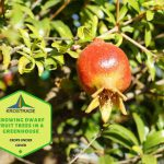 Growing Dwarf Fruit Trees In A Greenhouse