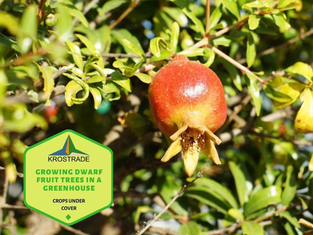 Things to do when growing dwarf fruit trees in a greenhouse