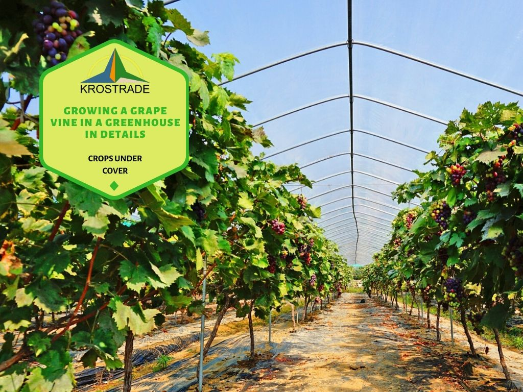 Grapevine cultivation in Greenhouse