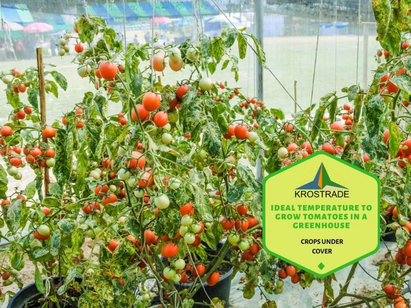 Ideal Temperature To Grow Tomatoes In A Greenhouse - Krostrade