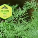 Dill Leaves for Weight Loss and All Things Dill