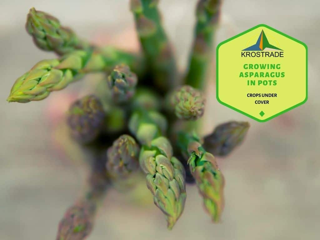 Growing Asparagus In Pots. What You Need To Know