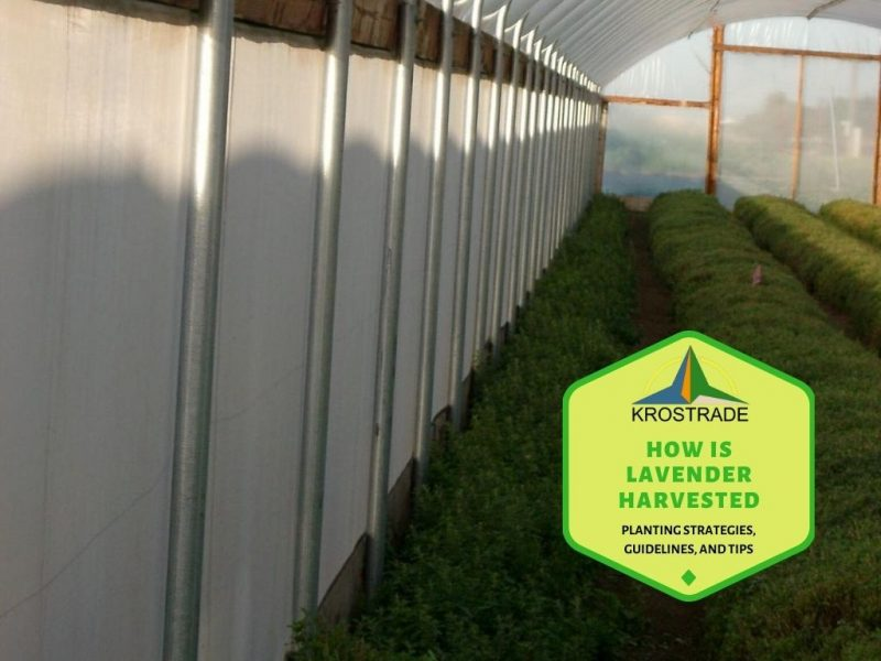 How Is Lavender Harvested. Planting Strategies, Guidelines, And Tips