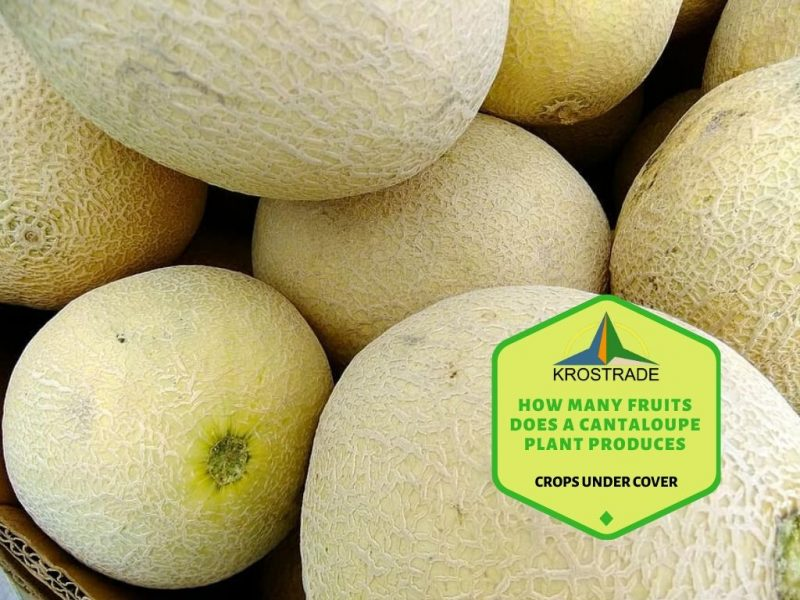 Growing Cantaloupe In The Greenhouse? - Krosagro