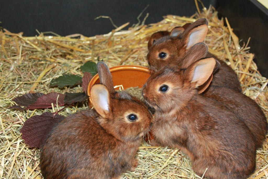 Rabbit Breeding Age Limit