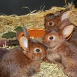 Rabbit Breeding Age Limit: Pointers To Remember