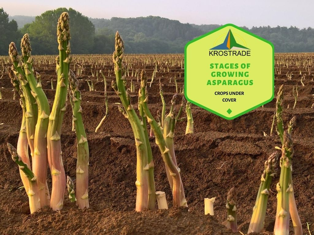 Stages of Growing Asparagus. Learn Step By Step