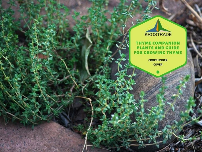 What Are Thyme Companion Plants