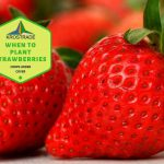 When To Plant Strawberries In Idaho
