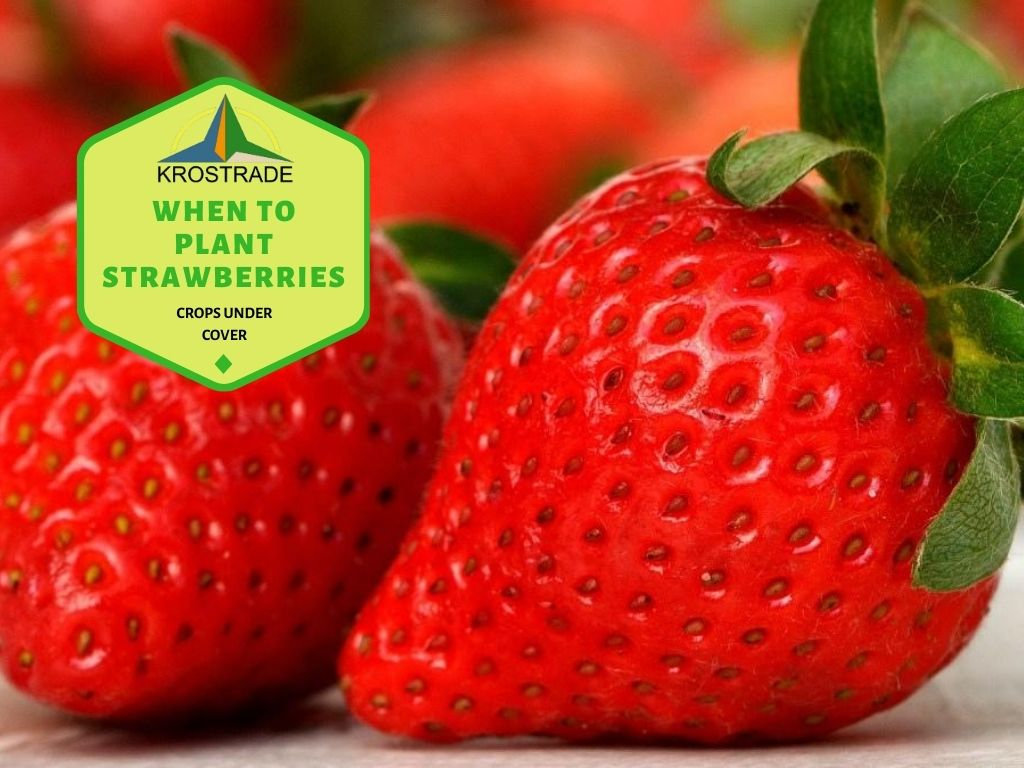 What Are The Best Strawberries To Plant?