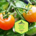 When To Plant Tomatoes In California