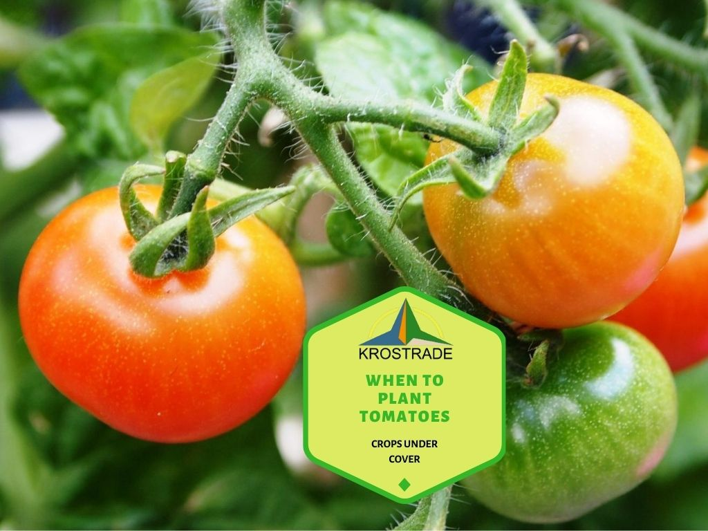 When Should Tomatoes Be Planted?