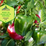 What to Plant with Peppers | Pepper Planting 101