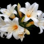 When To Start Growing Easter Lilies In Greenhouse