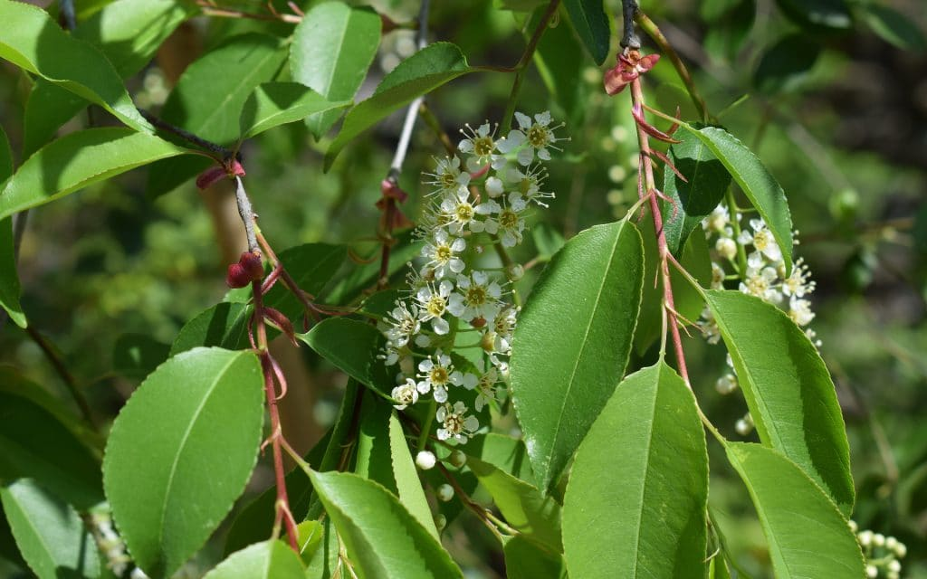 Facts About Chokecherry Bush in Colorado