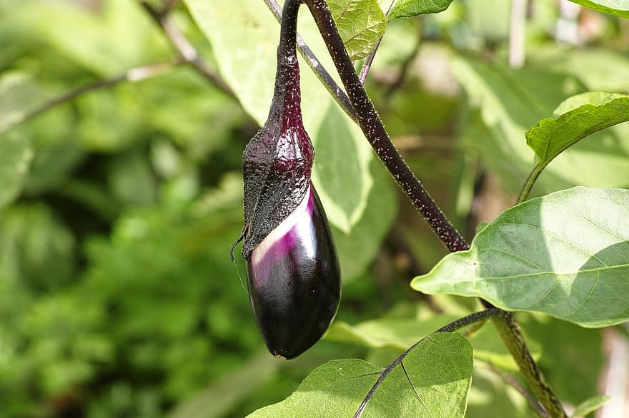 Good Companion Plants For Eggplant