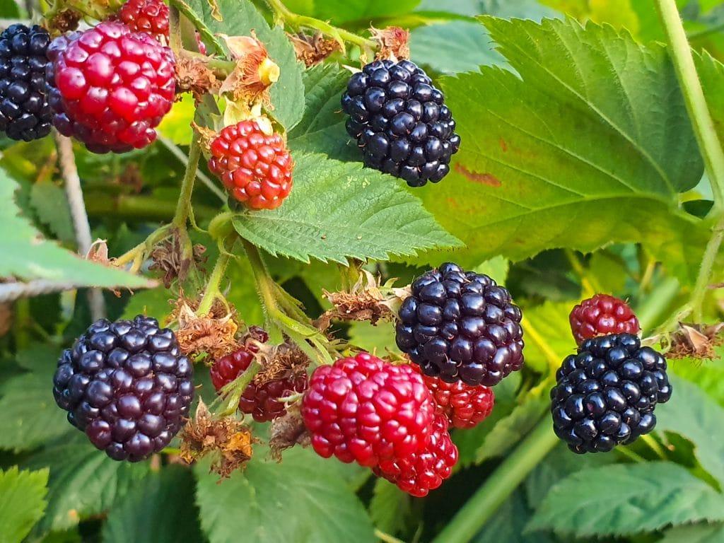 Growing Blackberries In New Mexico