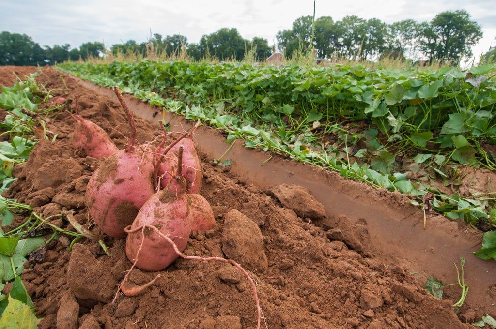 Growing Sweet Potatoes In Arizona