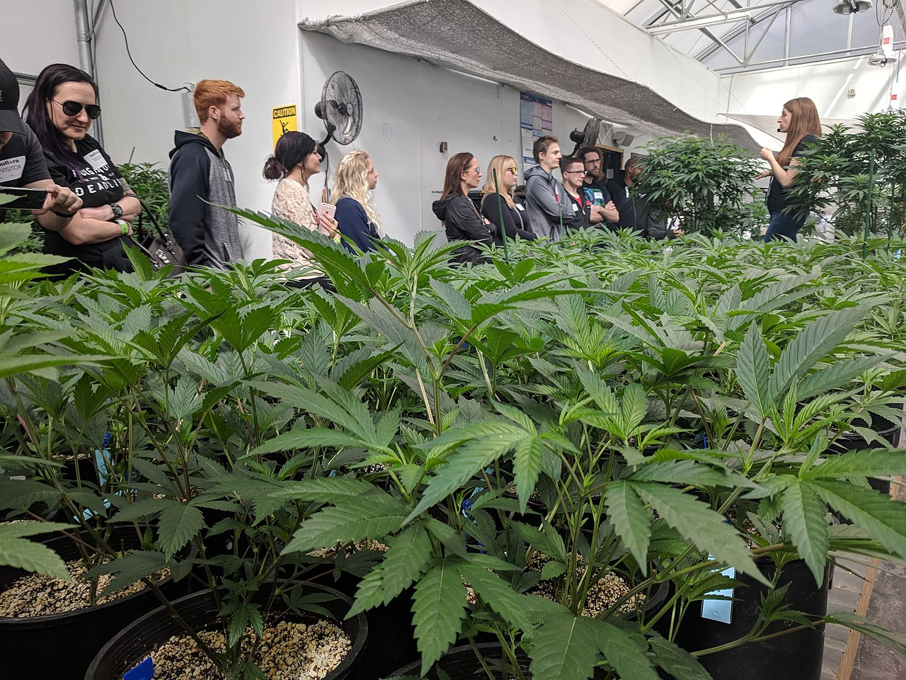 How Long Does The Marijuana Growing Cycle Take In Greenhouse