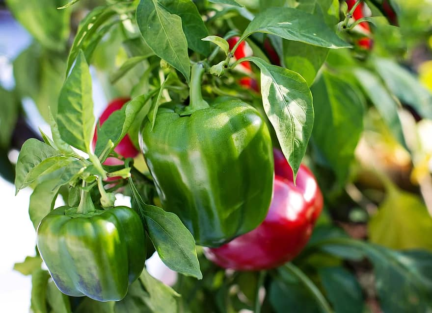 How Many Bell Peppers Per Plant