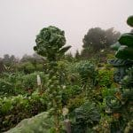 How To Grow Brussels Sprouts In Colorado