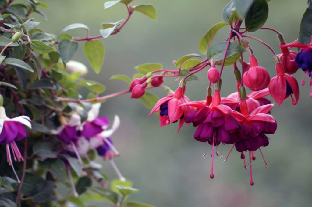 How To Grow The Fuchsias In A Greenhouse