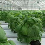 How To Grow Wholesale Basil In A Greenhouse