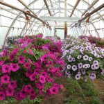 How To Prepare A Greenhouse Petunia For Planting