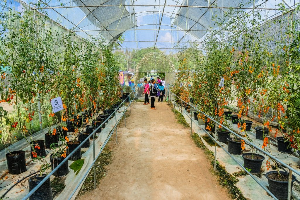 In A Commercial Greenhouse Which Side Is Best For Growing Tomatoes