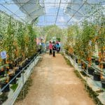 In A Commercial Greenhouse Which Side Is Best For Growing Tomatoes?