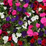Optimal Temperatures In A Greenhouse For Petunias