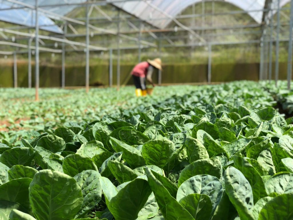 What Is The Best Growing Temperature For Vegetables In A Greenhouse