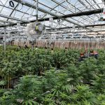 What Is The Ideal Temperature For Growing Cannabis In A Greenhouse