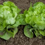 What Is The Temperature For Growing Lettuce From Seed In The Greenhouse