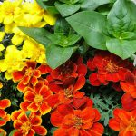 When Can I Begin Growing Marigold Seeds In A Greenhouse?
