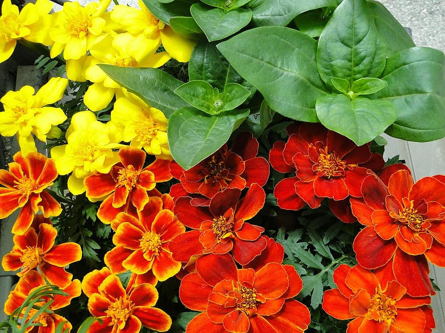 When Can I Begin Growing Marigold Seeds In A Greenhouse