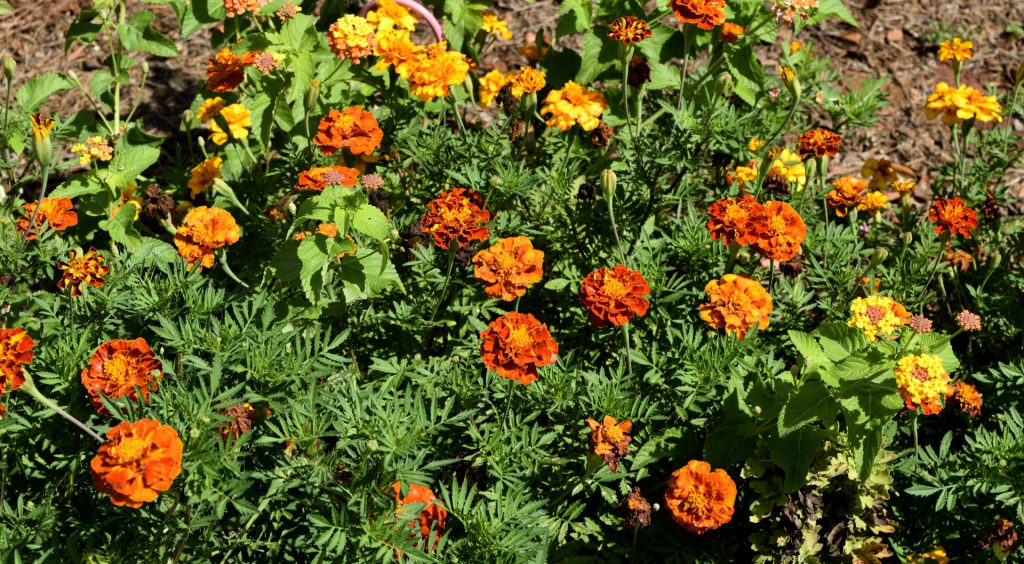 When Can I Start Growing American Marigold Seeds In Massachusetts In A Greenhouse