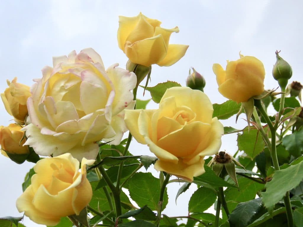 When Do Roses Bloom In California