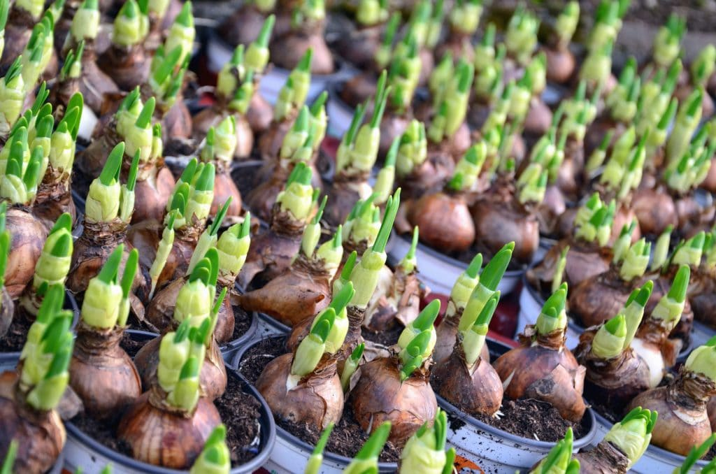 When To Plant Onions In Idaho
