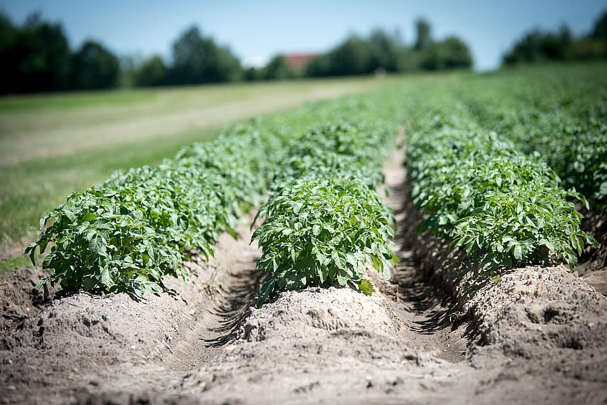 When To Plant Potatoes In Southern California