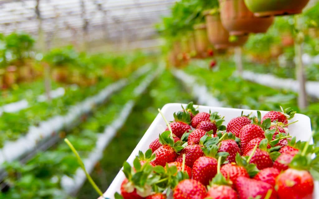 When To Plant Strawberries In Nebraska For Success
