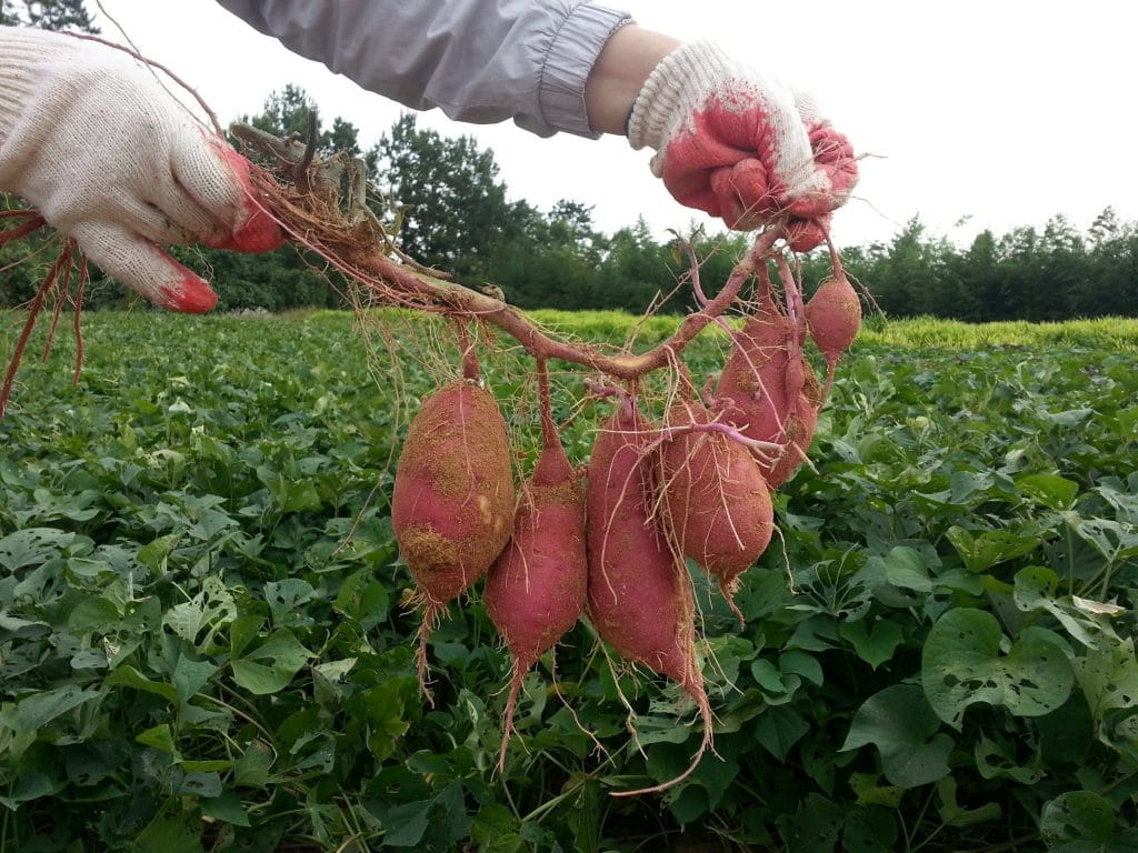When To Plant Sweet Potatoes In Idaho