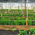 When To Start Growing Vegetables In A Greenhouse