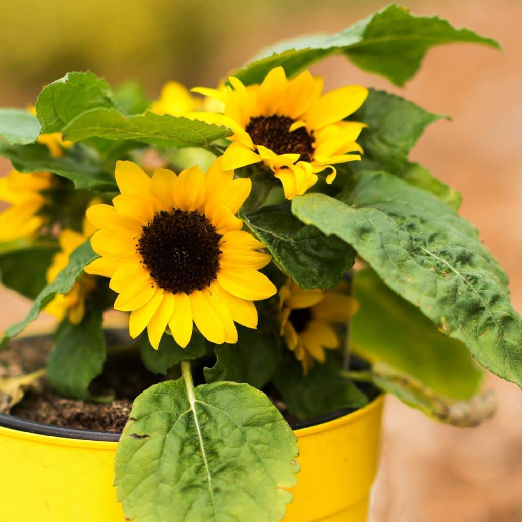 when to transplant sunflower
