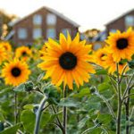 How To Prune A Sunflower