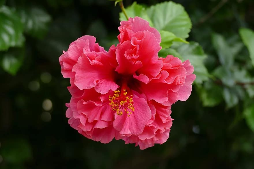 how to plant bare root hibiscus