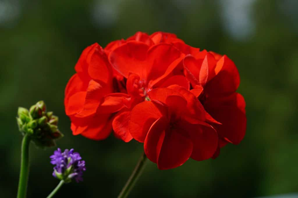 how to root geraniums from cuttings
