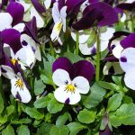 How To Germinate Pansy Seeds