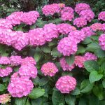 When To Cut Back Endless Summer Hydrangeas